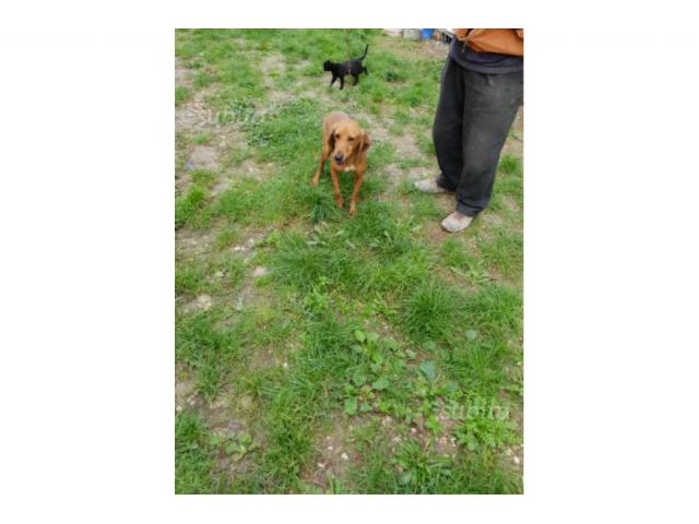 Cani da caccia segugio 2 maschi 1 femmina