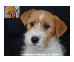 Jack Russell Terrier - Cuccioli Altamente Selezionati