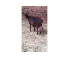 Vendita di capre de la Spagna