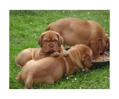 DOGUE DE BORDEAUX CUCCIOLI