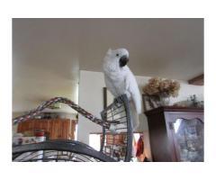 Coppia di pappagalli Cacatua bianco.
