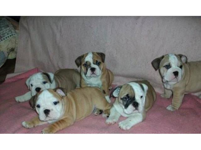 Disponibili Splendidi cuccioli Di Bulldog Inglese.