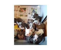 Cuccioli Di Bouldogue Francese blu disponibile.